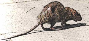 The Black Plague and Rats